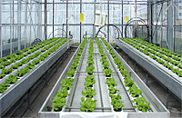 Lactuca hydroponic cultivation (NFT)