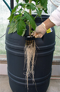 Tomato roots in aeroponic cultivation