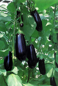 Eggplant cultivation